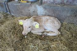 A calf showing salivation, deperment, hyperthermia...