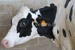 Paradoxical aciduria, a frequent metabolic disorder in dairy cows...